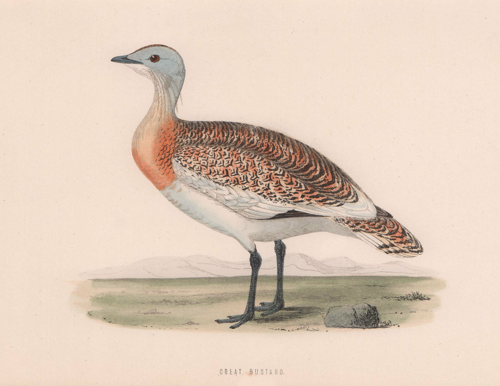 Great Bustard. Morris's British Birds. Antique colour print 1870 old