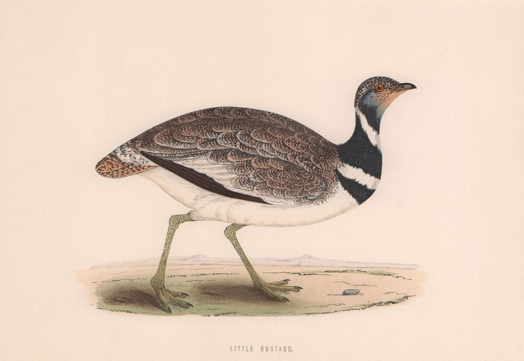 Little Bustard. Morris's British Birds. Antique colour print 1870 old