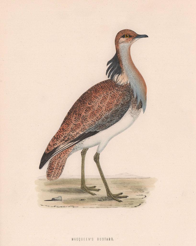 Macqueen's Bustard. Morris's British Birds. Antique colour print 1870