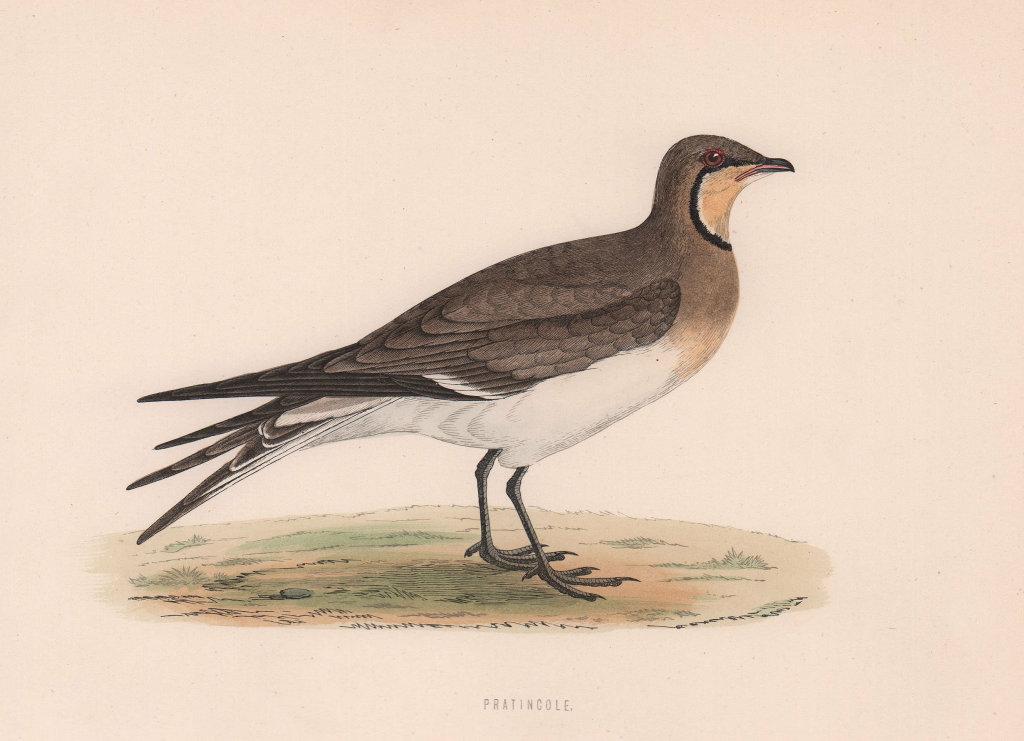 Pratincole. Morris's British Birds. Antique colour print 1870 old