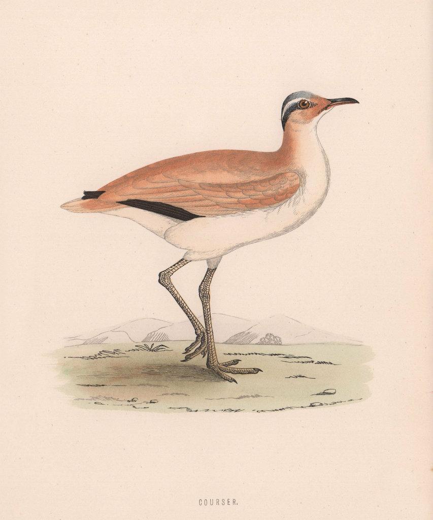 Courser. Morris's British Birds. Antique colour print 1870 old