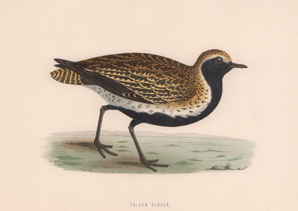 Golden Plover. Morris's British Birds. Antique colour print 1870