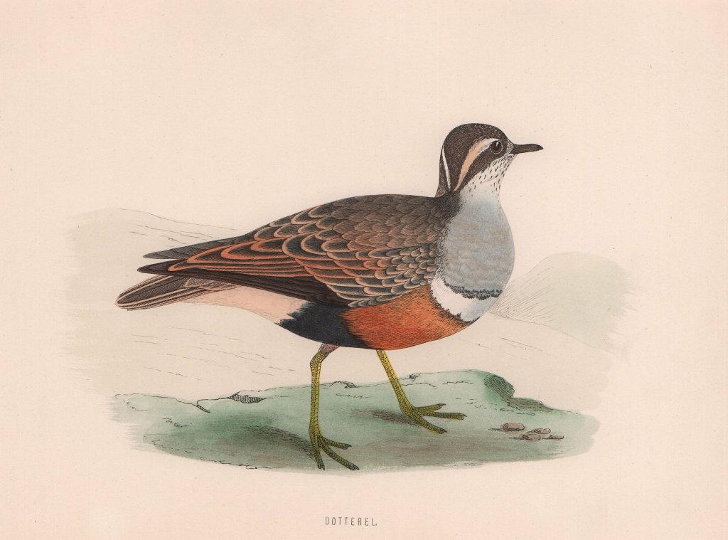 Dotterel. Morris's British Birds. Antique colour print 1870 old