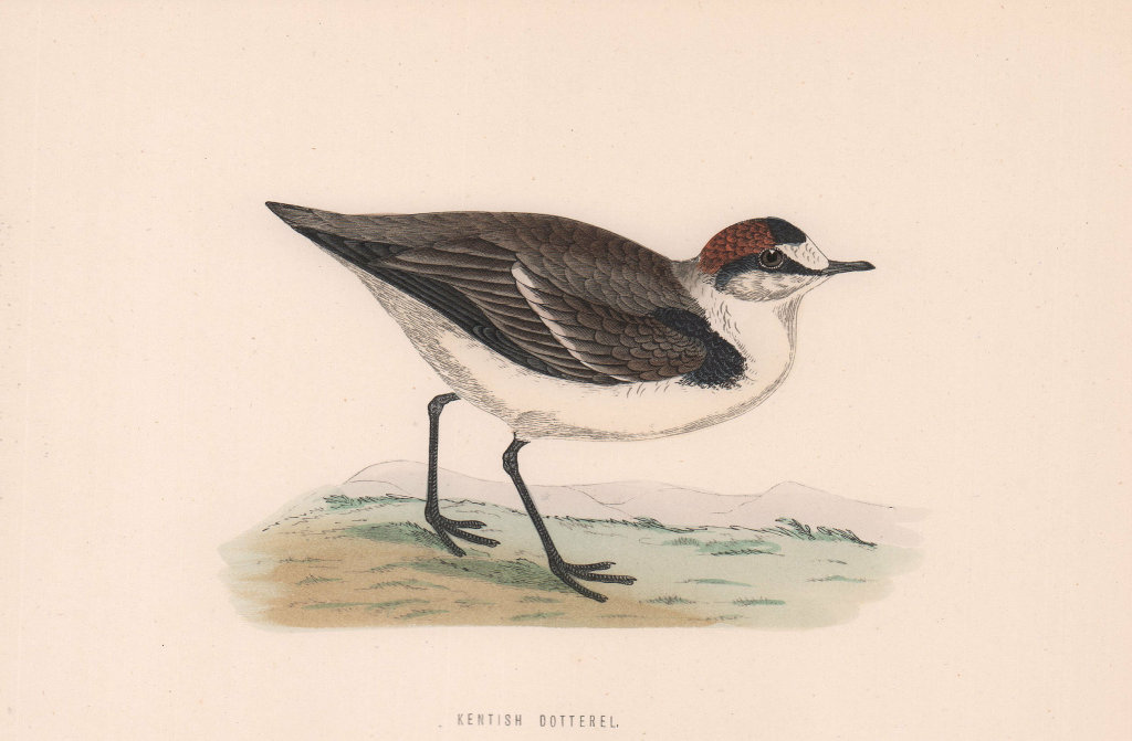 Kentish Dotterel. Morris's British Birds. Antique colour print 1870 old