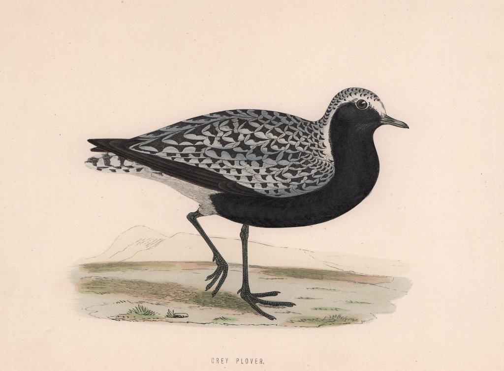 Grey Plover. Morris's British Birds. Antique colour print 1870 old