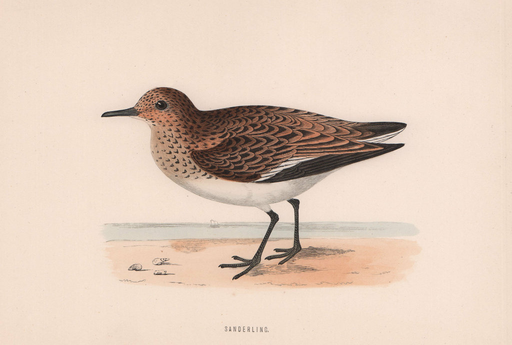 Sanderling. Morris's British Birds. Antique colour print 1870 old