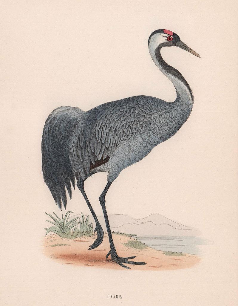 Crane. Morris's British Birds. Antique colour print 1870 old