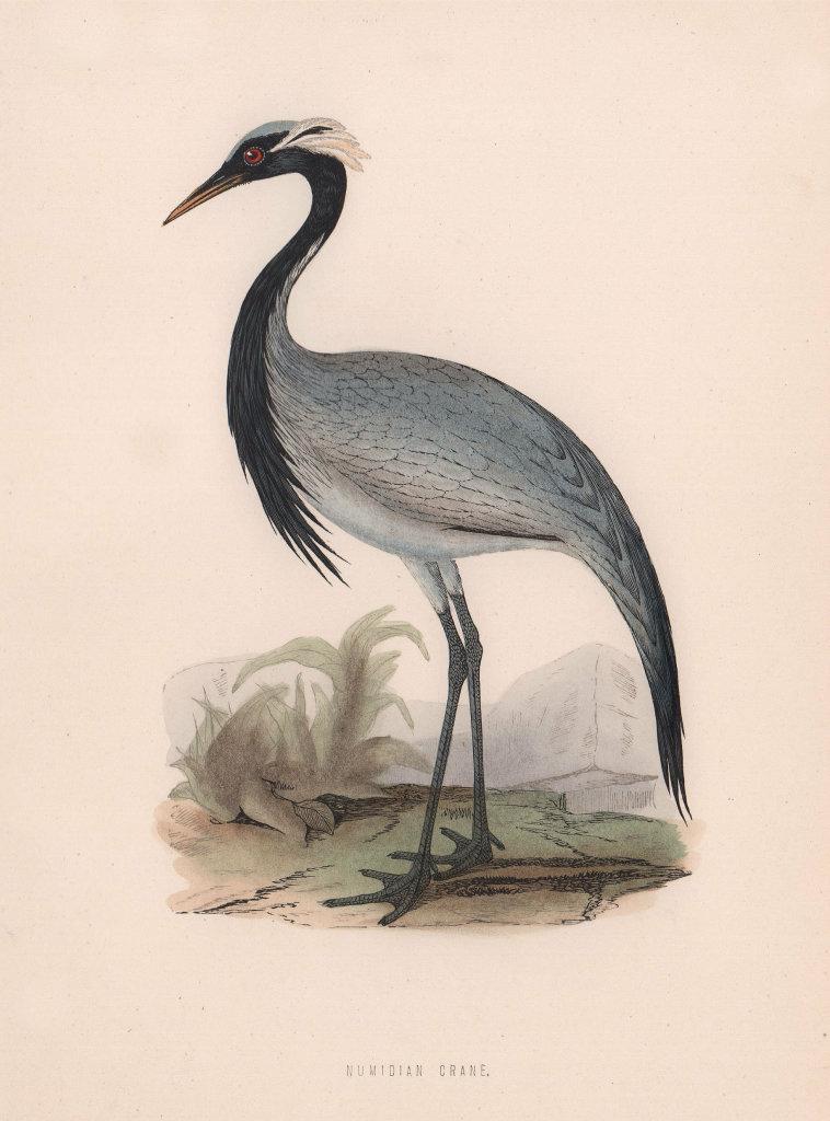 Numidian Crane. Morris's British Birds. Antique colour print 1870 old