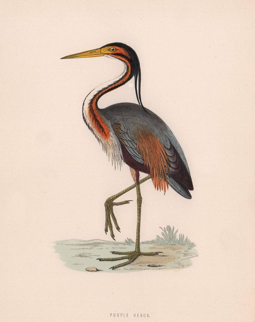 Purple Heron. Morris's British Birds. Antique colour print 1870 old