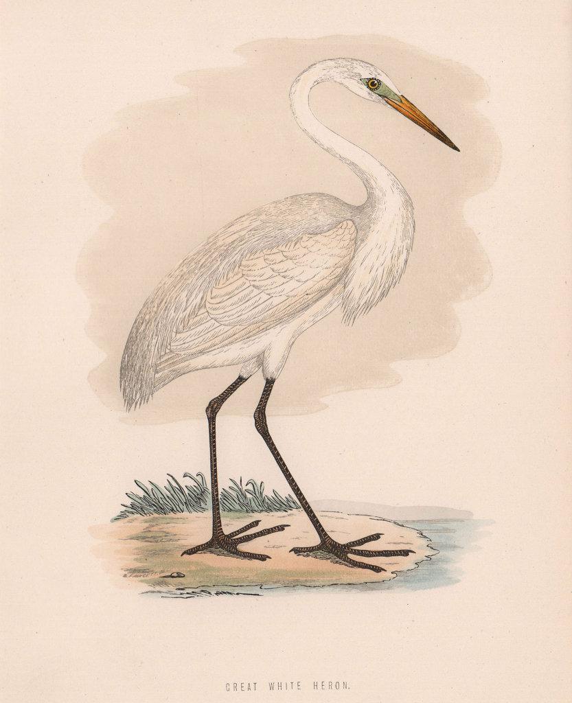 Great White Heron. Morris's British Birds. Antique colour print 1870 old