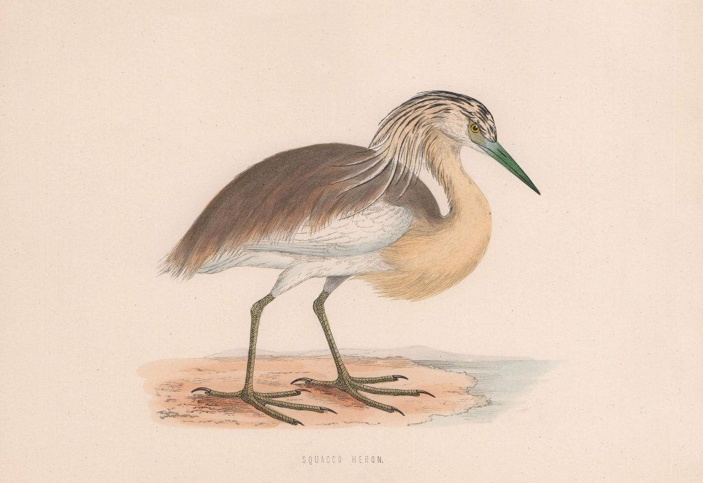 Squacco Heron. Morris's British Birds. Antique colour print 1870 old