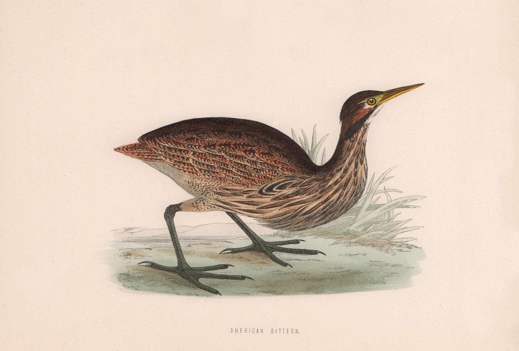 American Bittern. Morris's British Birds. Antique colour print 1870 old