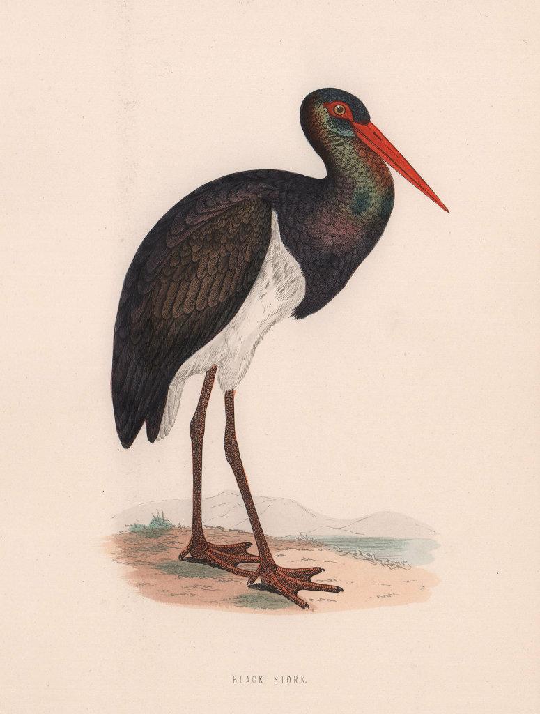 Black Stork. Morris's British Birds. Antique colour print 1870 old