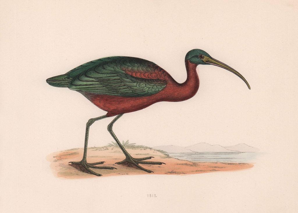 Ibis. Morris's British Birds. Antique colour print 1870 old