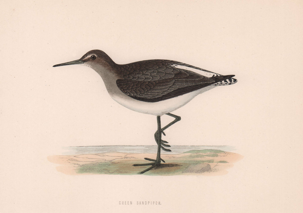 Green Sandpiper. Morris's British Birds. Antique colour print 1870 old