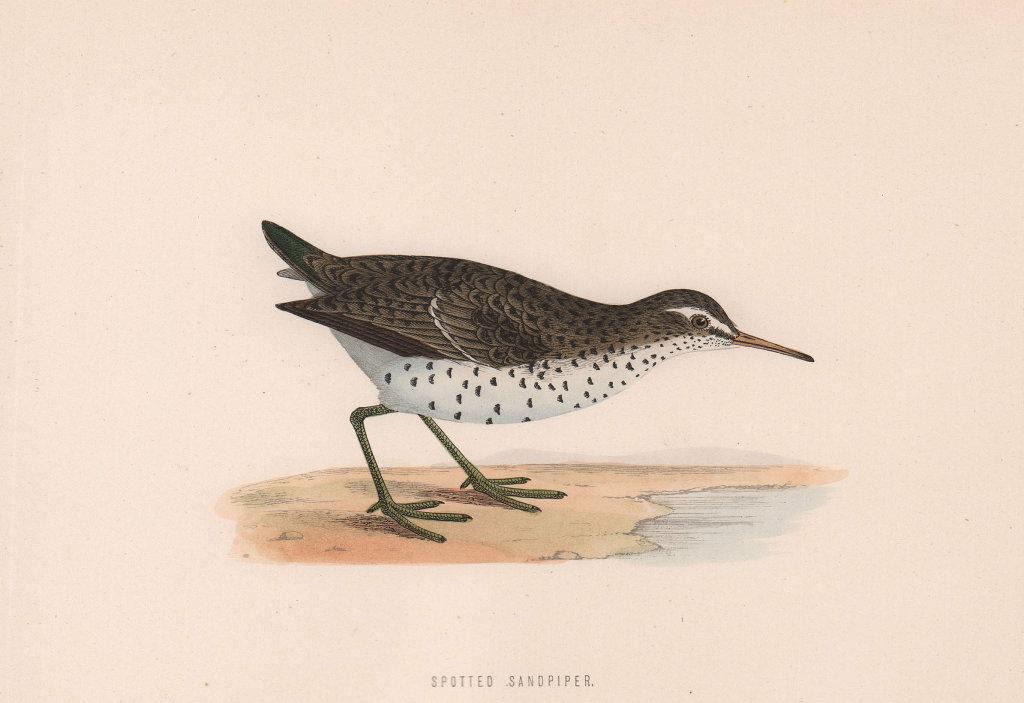 Spotted Sandpiper. Morris's British Birds. Antique colour print 1870 old