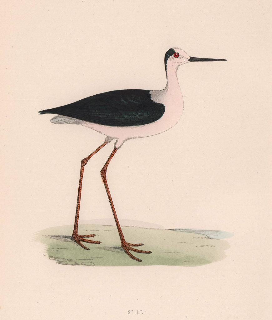 Stilt. Morris's British Birds. Antique colour print 1870 old