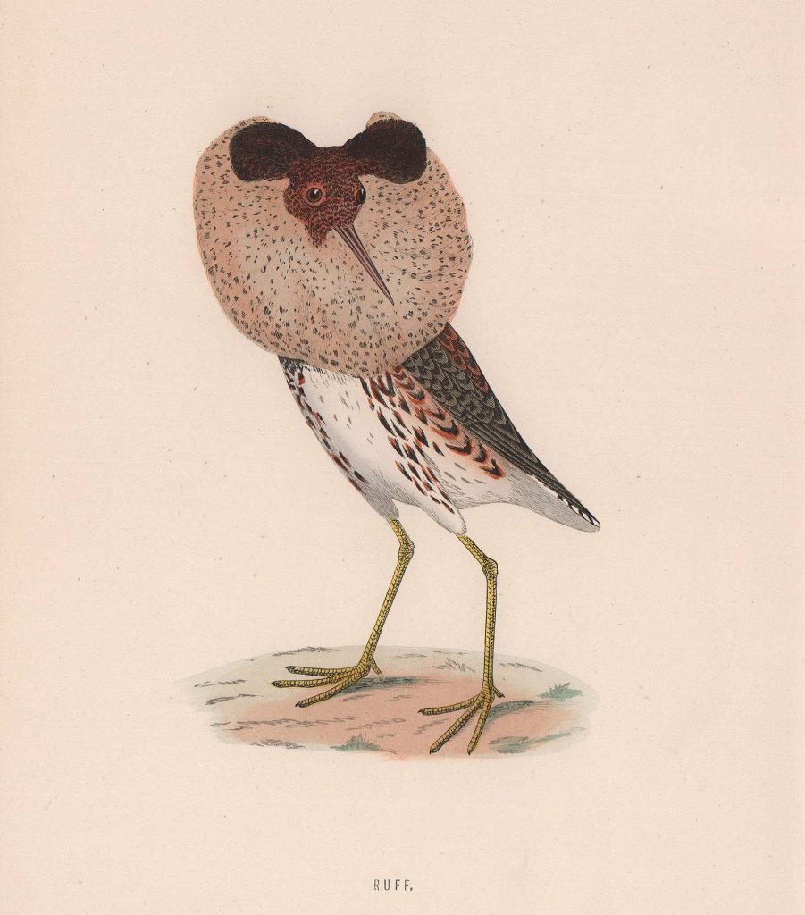Ruff. Morris's British Birds. Antique colour print 1870 old