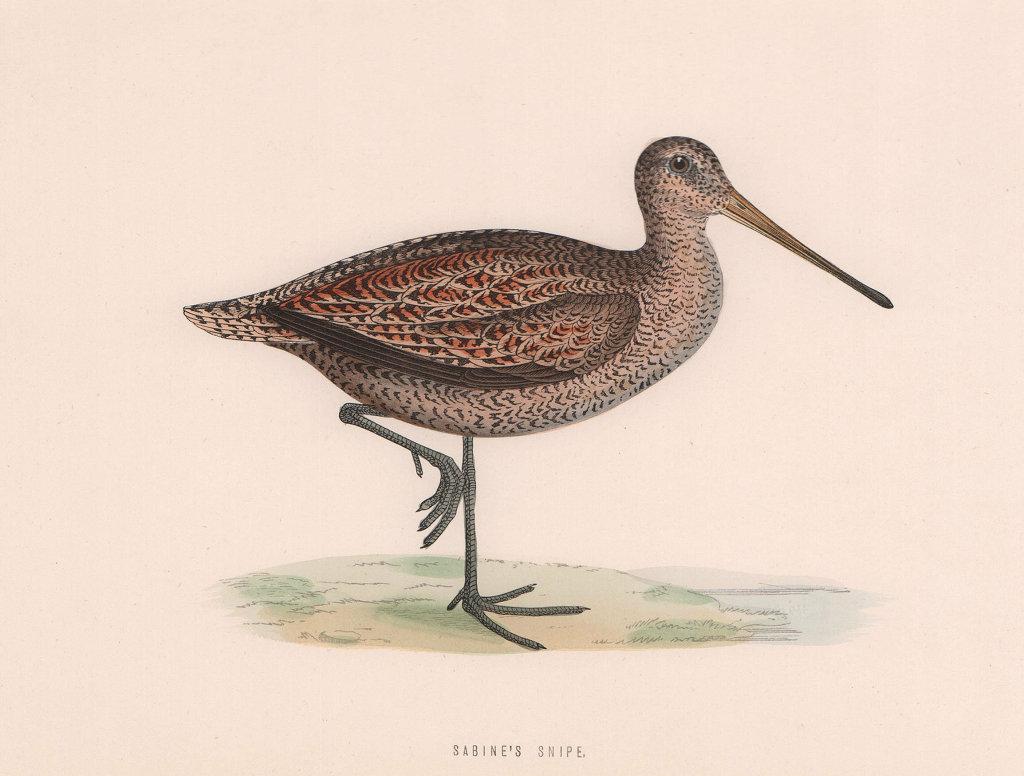 Sabine's Snipe. Morris's British Birds. Antique colour print 1870 old