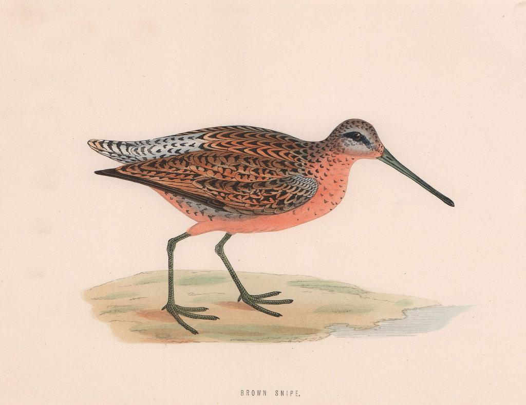 Brown Snipe. Morris's British Birds. Antique colour print 1870 old