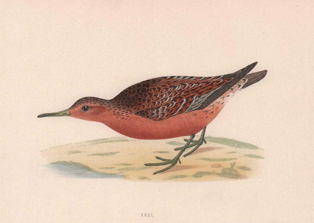 Knot. Morris's British Birds. Antique colour print 1870 old
