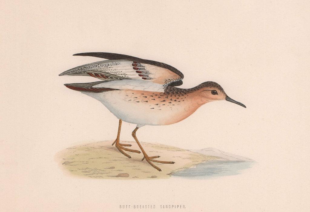 Buff-breasted Sandpiper. Morris's British Birds. Antique colour print 1870