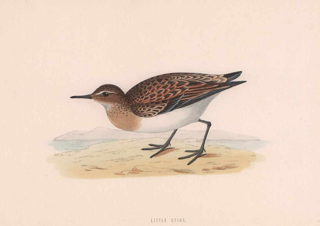 Little Stint. Morris's British Birds. Antique colour print 1870 old