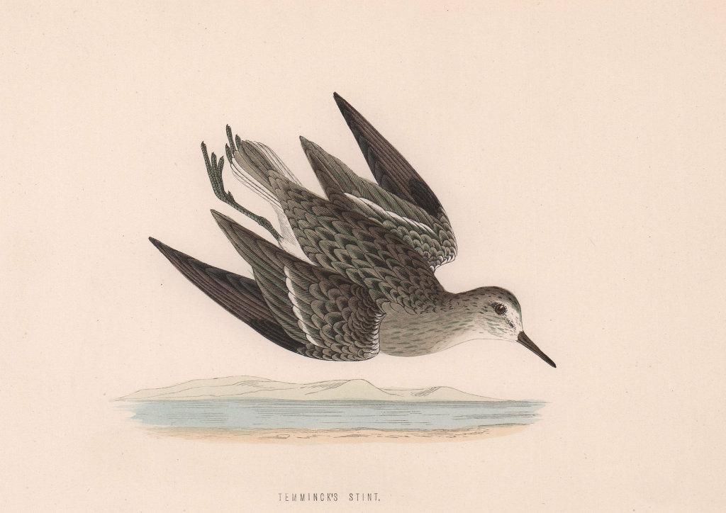 Temminck's Stint. Morris's British Birds. Antique colour print 1870 old