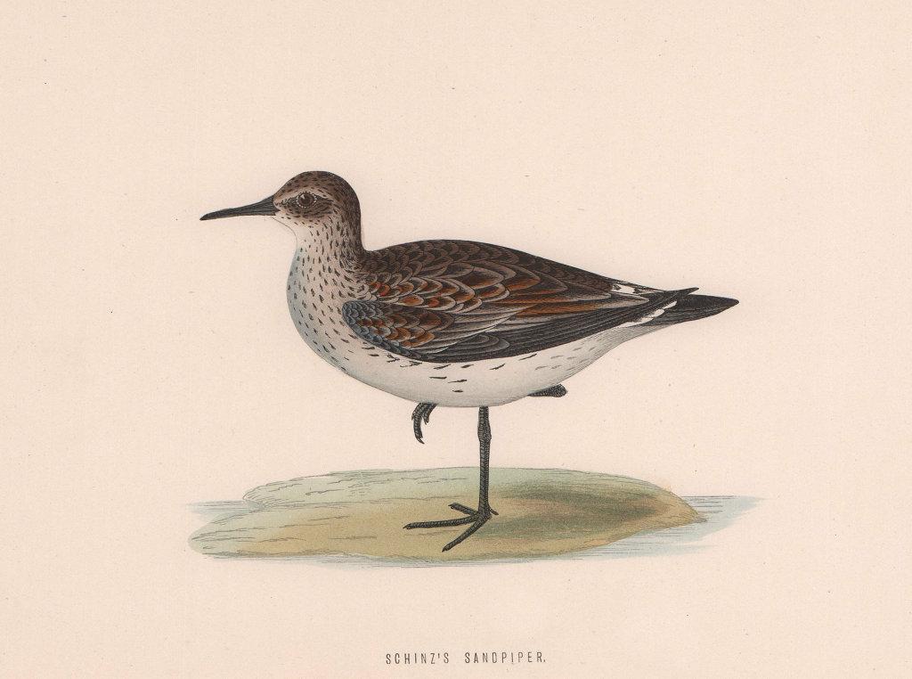 Schinz's Sandpiper. Morris's British Birds. Antique colour print 1870