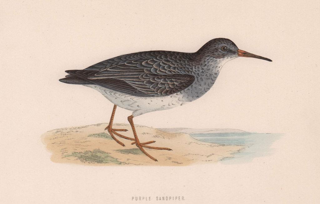 Purple Sandpiper. Morris's British Birds. Antique colour print 1870 old
