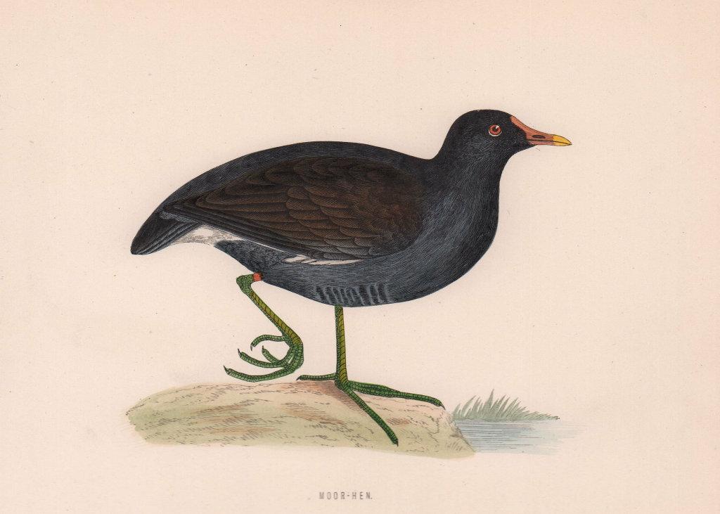 Moor-hen. Morris's British Birds. Antique colour print 1870 old