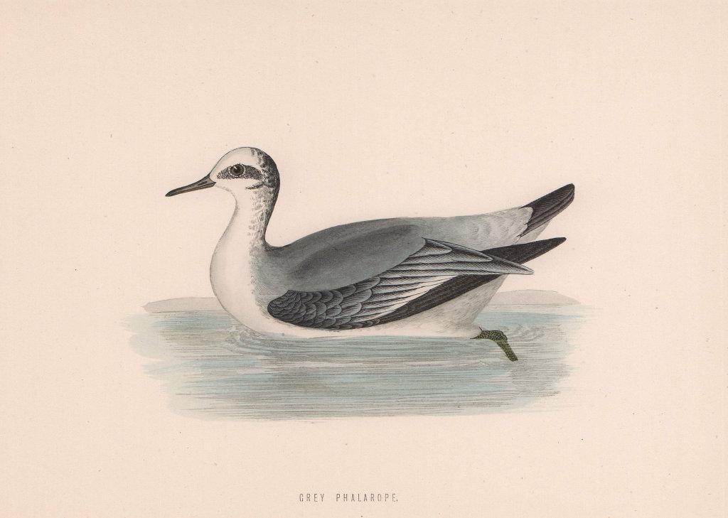 Grey Phalarope. Morris's British Birds. Antique colour print 1870 old