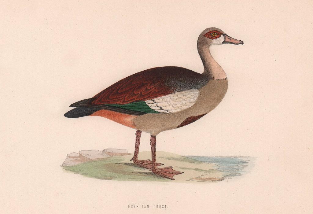 Egyptian Goose. Morris's British Birds. Antique colour print 1870 old