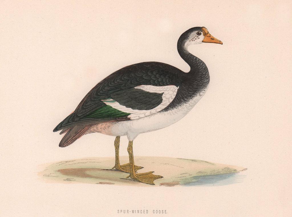 Spur-Winged Goose. Morris's British Birds. Antique colour print 1870 old