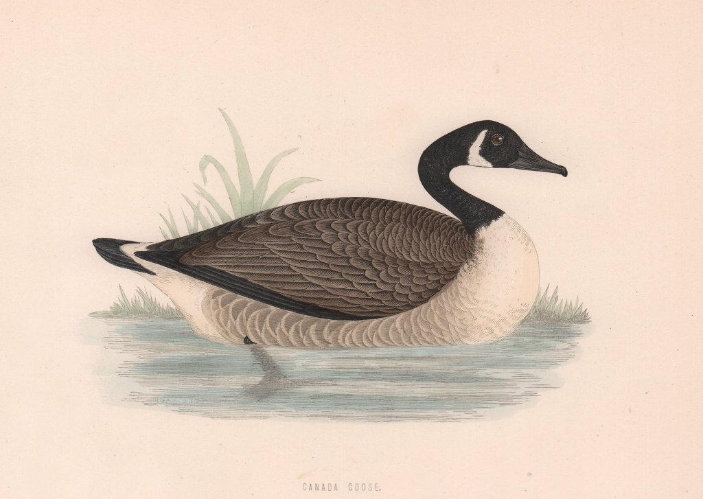 Canada Goose. Morris's British Birds. Antique colour print 1870 old