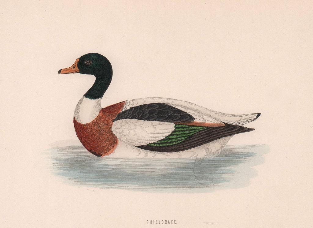 Shieldrake. Morris's British Birds. Antique colour print 1870 old