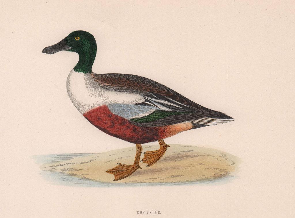 Shoveler. Morris's British Birds. Antique colour print 1870 old