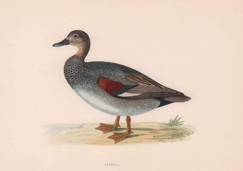 Gadwall. Morris's British Birds. Antique colour print 1870 old