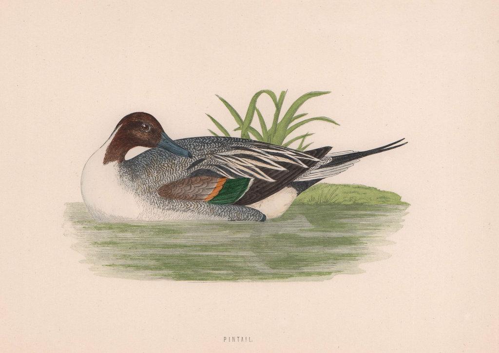 Pintail. Morris's British Birds. Antique colour print 1870 old