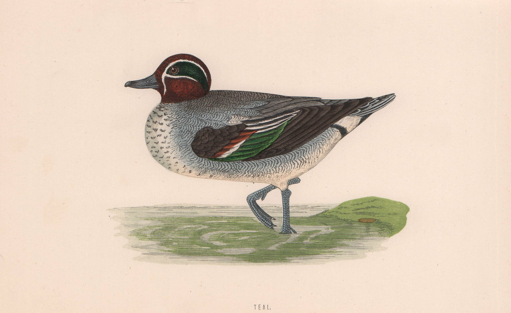 Teal. Morris's British Birds. Antique colour print 1870 old
