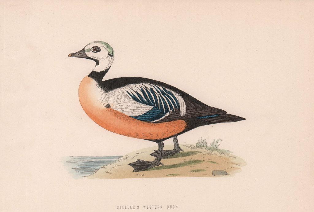 Steller's Western Duck. Morris's British Birds. Antique colour print 1870