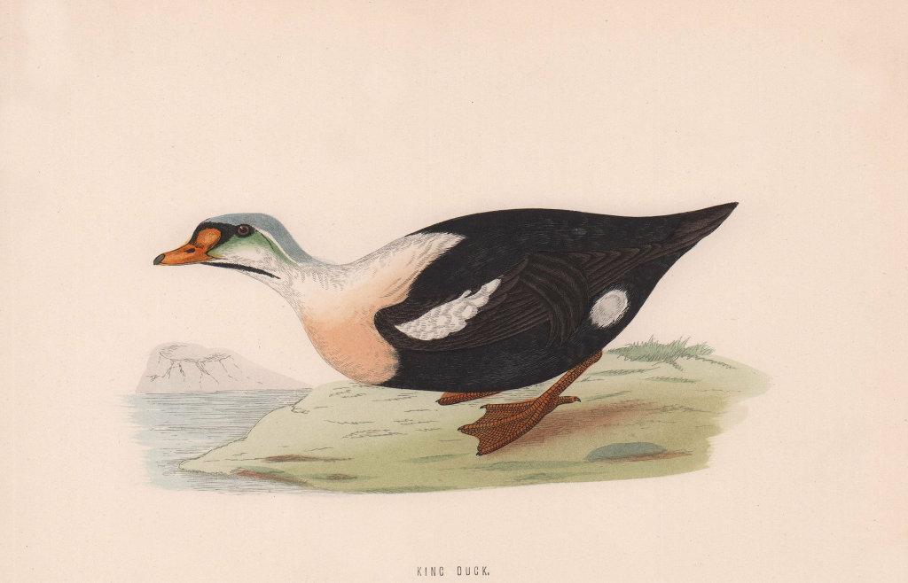 King Duck. Morris's British Birds. Antique colour print 1870 old