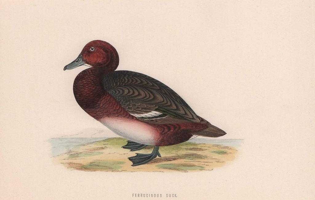 Ferruginous Duck. Morris's British Birds. Antique colour print 1870 old