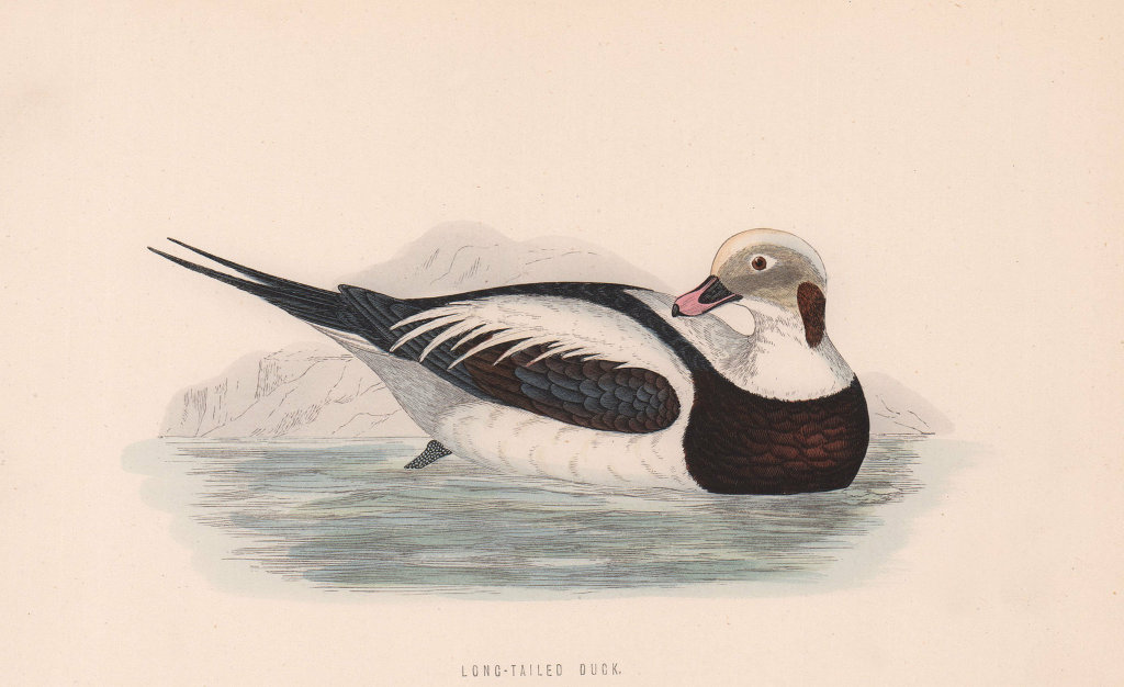 Long-Tailed Duck. Morris's British Birds. Antique colour print 1870 old