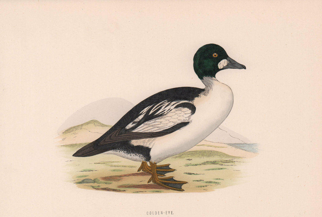 Golden-eye. Morris's British Birds. Antique colour print 1870