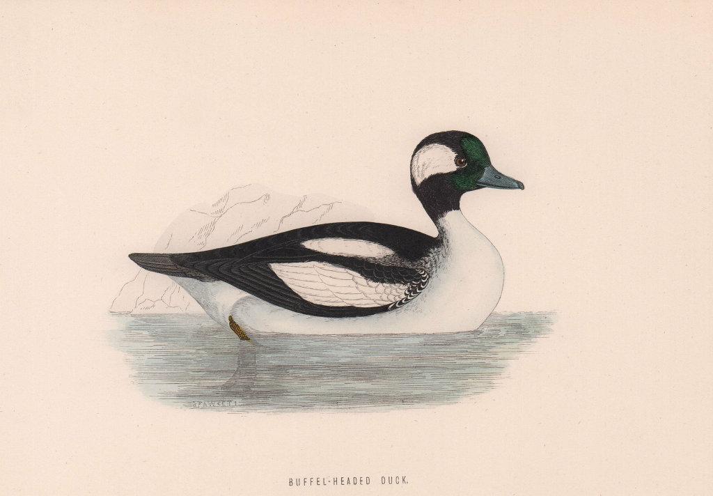 Buffel-headed Duck. Morris's British Birds. Antique colour print 1870