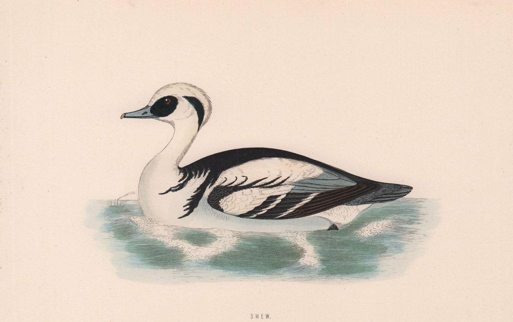 Smew. Morris's British Birds. Antique colour print 1870 old