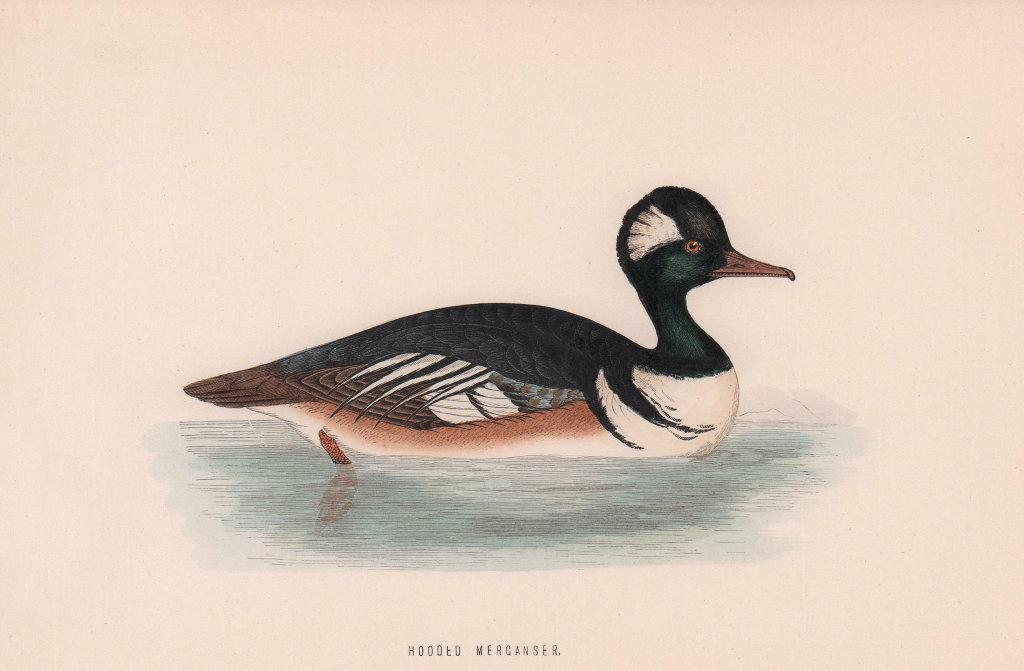 Hooded Merganser. Morris's British Birds. Antique colour print 1870 old