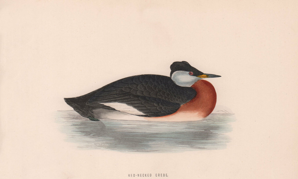 Red-Necked Grebe. Morris's British Birds. Antique colour print 1870 old