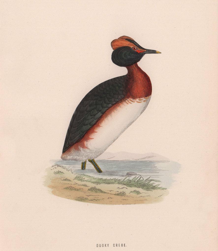 Dusky Grebe. Morris's British Birds. Antique colour print 1870 old